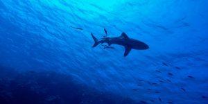 Meet bull sharks
