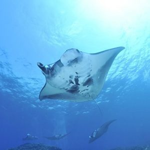 Meet the Giant Manta Rays