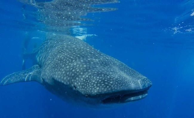 whale shark snorkel video