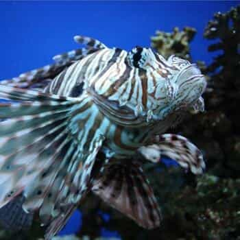 Lion Fish Hunt Adventure