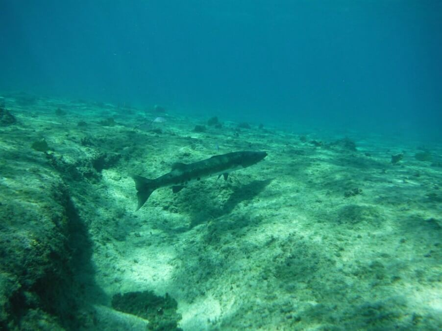 barracuda reef