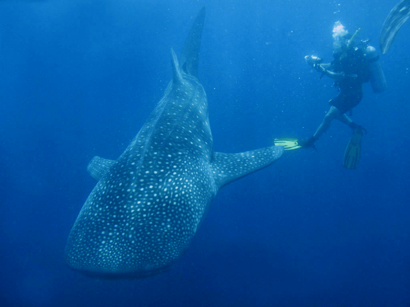 whale shark diving tour