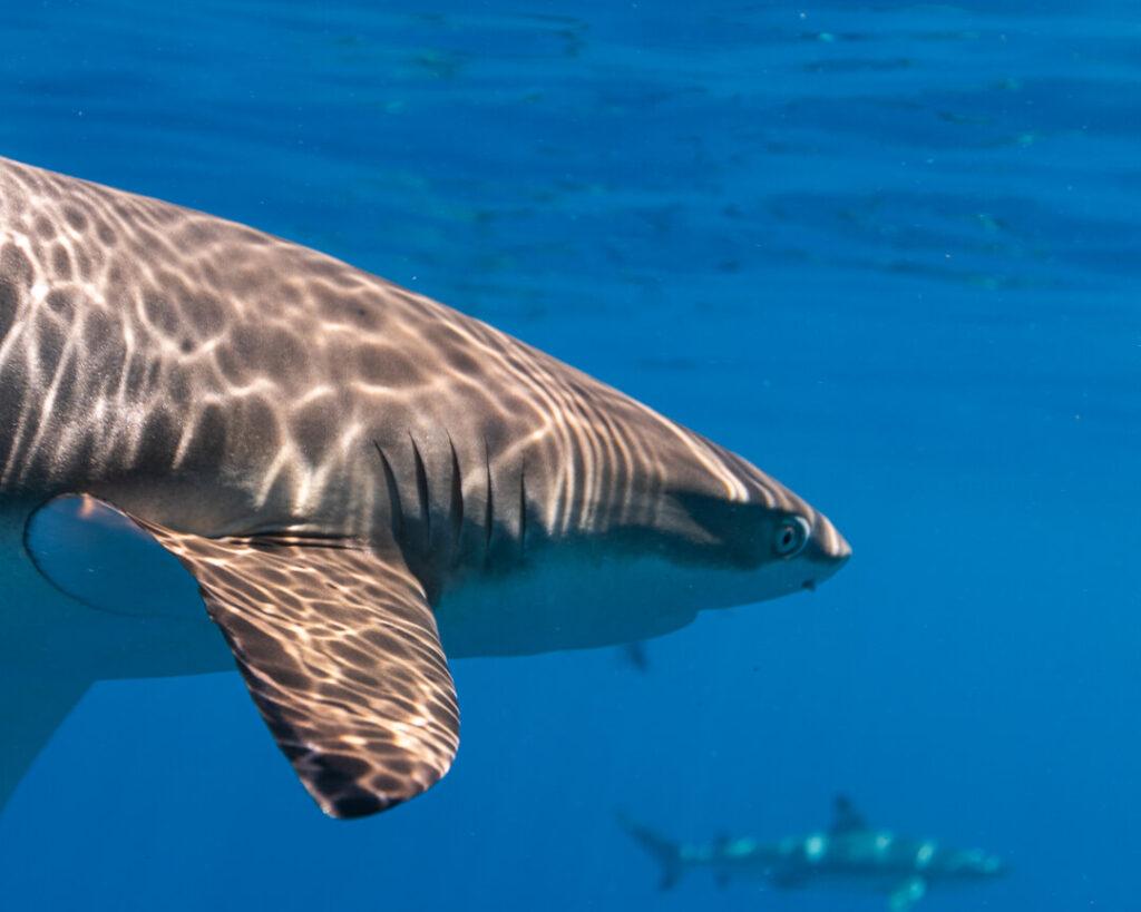 Bull shark Face