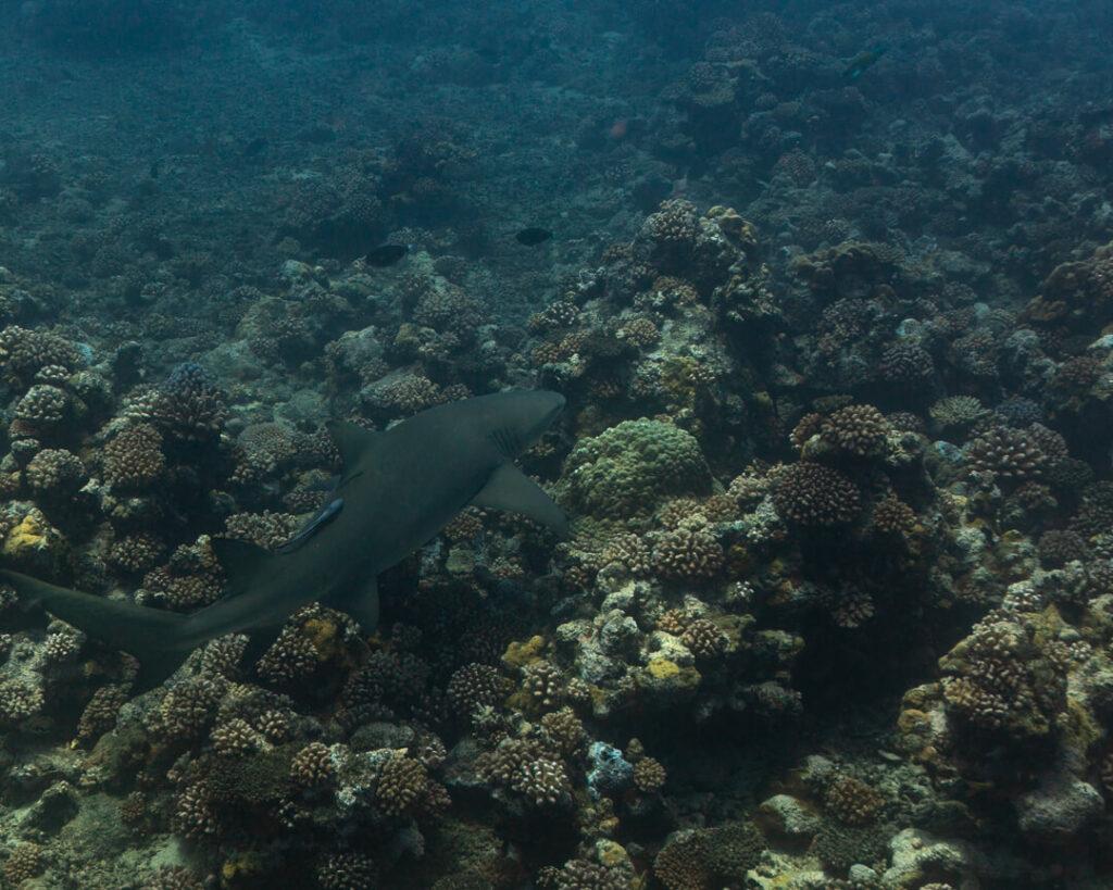 Bullshark Reef