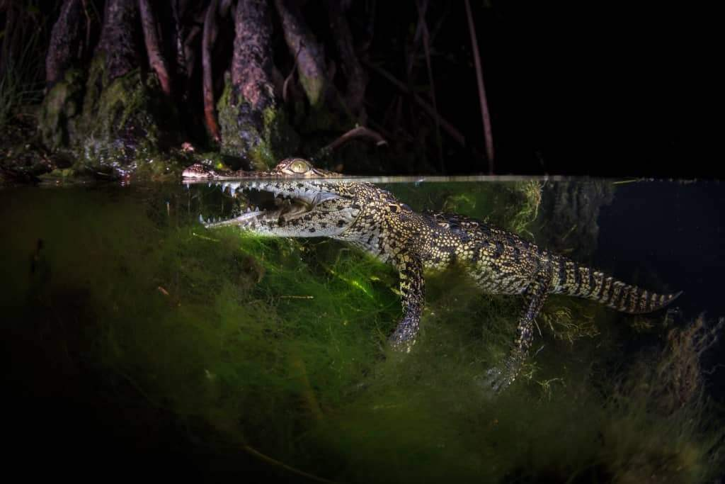 crocodile night dive