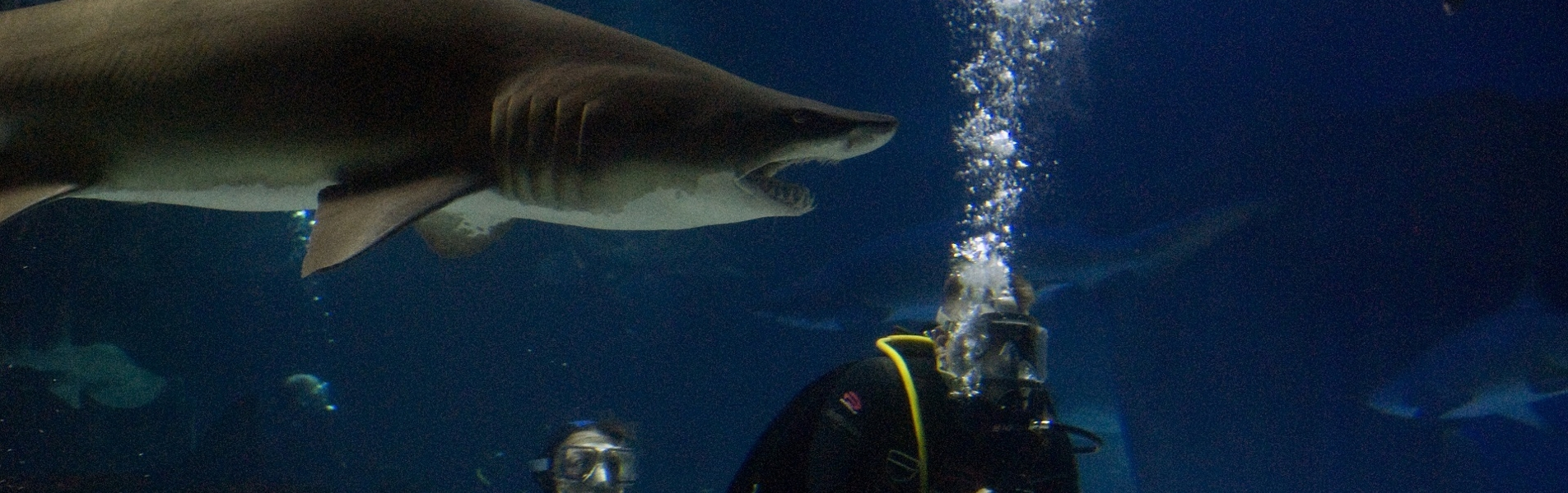 Why Don't Sharks Attack Scuba Divers?