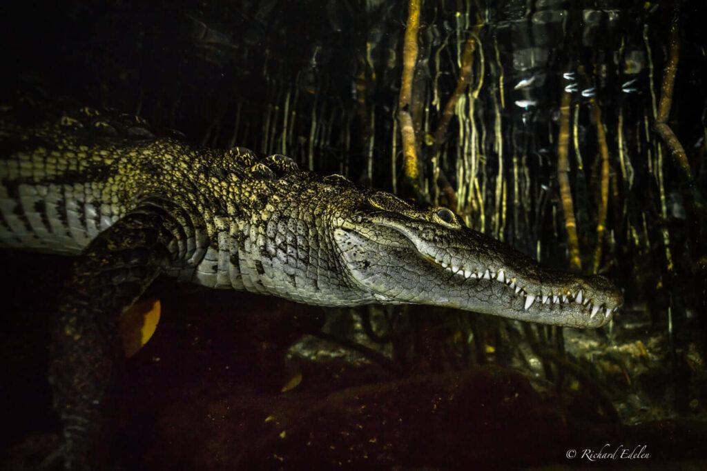night dive with crocodiles in a cenote